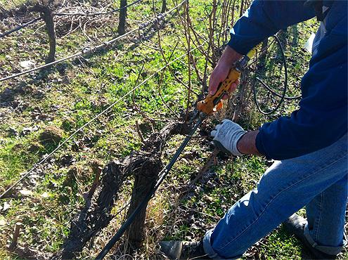 Epoca de poda en Viña Placentina, vinos de agricultura ecológica en Extremadura